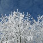 Hazelnuts in Snow