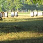 Bobcat by the bee boxes
