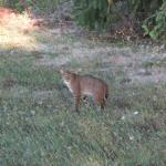 bobcat on the farm