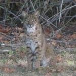 close-up of the bobcat
