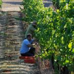 Harvesting Grapes - Photo courtesy of: Dwight Brimley