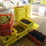 Basket of picked grapes. Photo courtesy of: Dwight Brimley
