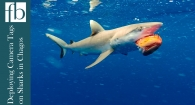 Deploying Camera Tags on Sharks in Chagos