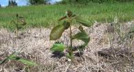 Growing Hybrid Poplars for Biofuels