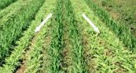 Organic High Residue Reduced-Till Cover Cropping 3: Weed Em and Reap