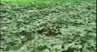 Organic High Residue Reduced-Till Sweet Potato Production: Weed Em and Reap