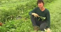 Organic No-Till Living Mulch Cover Crops: Weed Em and Reap