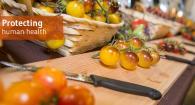 High anthocyanin tomatoes