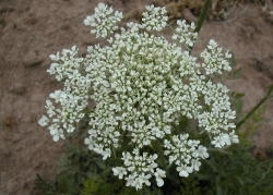 Many individual white flowers are in each umbel. Image by: James Altland, USDA-ARS