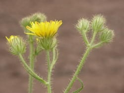 Flower buds and stems are very bristly and hairy. Image by:James Altland, USDA-ARS
