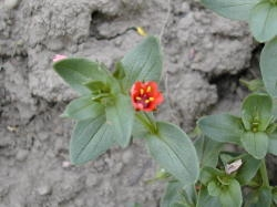 Scarlet pimpernel has relatively thick leaves with the midrib visible as a depression in the leaf blade. Image by: James Altland, USDA-ARS