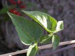 Deeply lobed leaves are arranged alternately along the stem. Image by: James Altland, USDA-ARS