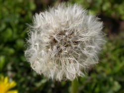 The mature seed head of the dandelion plant. James Altland, USDA-ARS