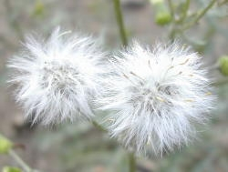 Common groundsel seeds are covered with a white cotton-like tissue called a pappus. This feature allows the seed to be carried Image by: James Altland, USDA-ARS