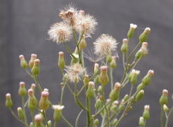 Seed heads are spherical and about 1 cm in diameter with is dirty white pappus. Image by: James Altland, USDA_ARS