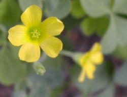 Yellow wood sorrel flowers are yellow with 5 petals and 5 stamens. Image by: James Altland, USDA-ARS