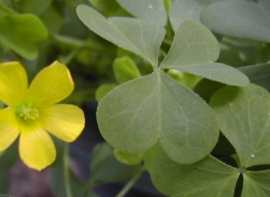 Yellow woodsorrel foliage is trifoliate, with 3 obcordate leaflets with only slight pubescence visible on leaf margins. Image by: James Altland, USDA-ARS