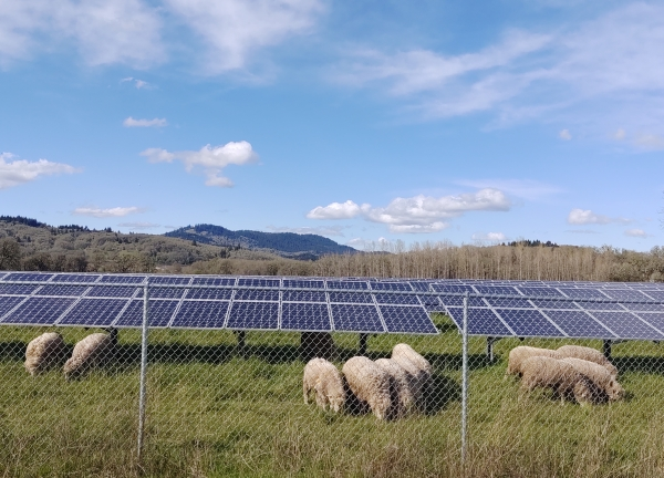 sheeps and solar panels