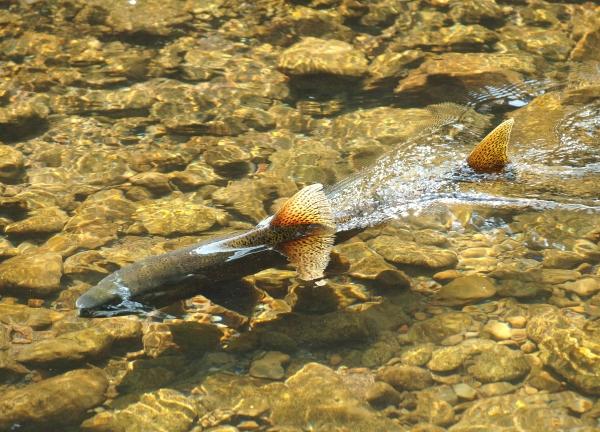 Chinook salmon swimming