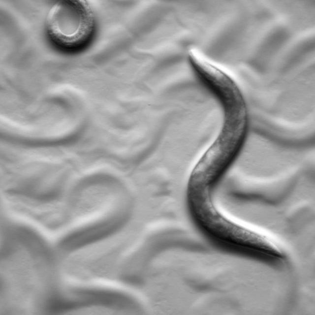 Slug killing nematode Phasmarhabditis hermaphrodita collected in Oregon