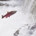 A coho salmon jumps out of the water in Fall Creek, Oregon. Photo by Lynn Ketchum, Oregon State University.