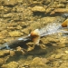 Chinook salmon swimming