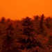 West Coast wildfires turn the skies orange over the Iverson Family Farms hemp fields. (Photo courtesy of Iverson Family Farms)