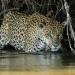 Jaguar in the northern Brazilian Pantanal. Photo: Daniel Kantek.