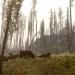 Cows in smokey air