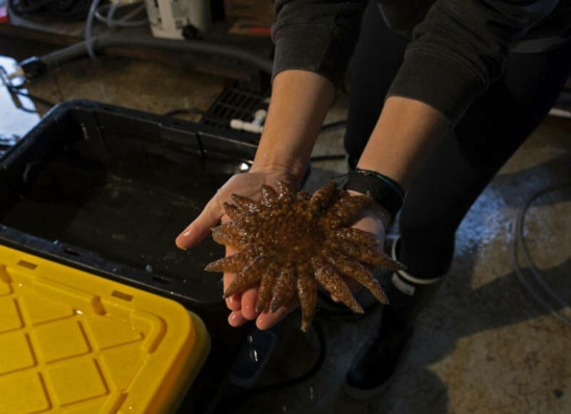 Lab technician Elsie Herman holds an endangered Sunflower Sea Star (Tash Kimmell/KCAW)