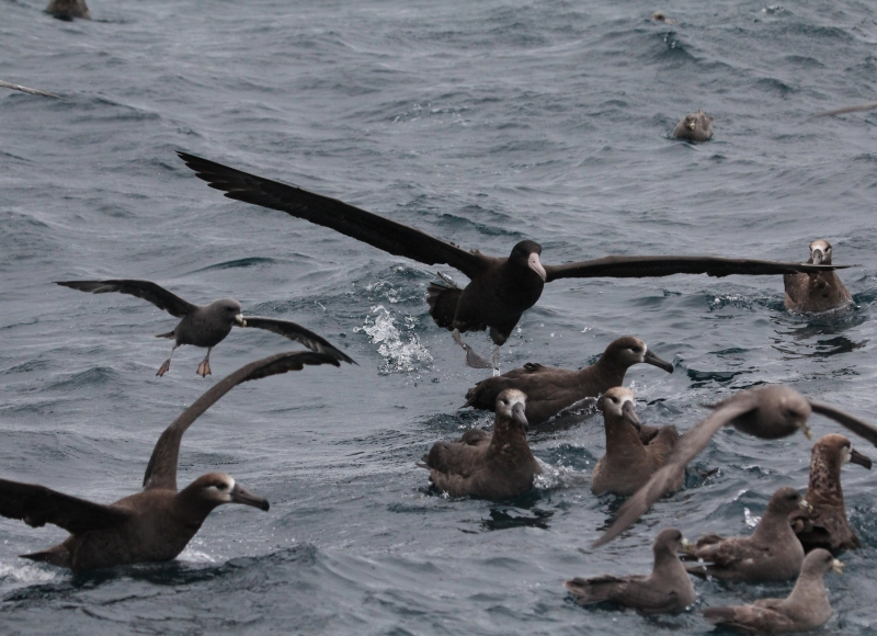 Short-tailed albatross in the North Pacific Ocean. Photo by Robert Suryan.