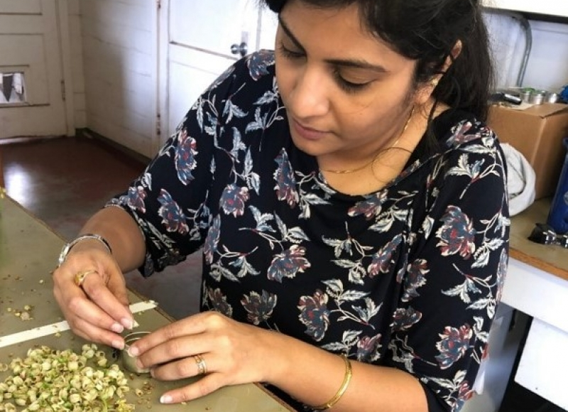 Priyadarshini Chakrabarti collects pollen from a blueberry flower. Photo by Ramesh Sagili.