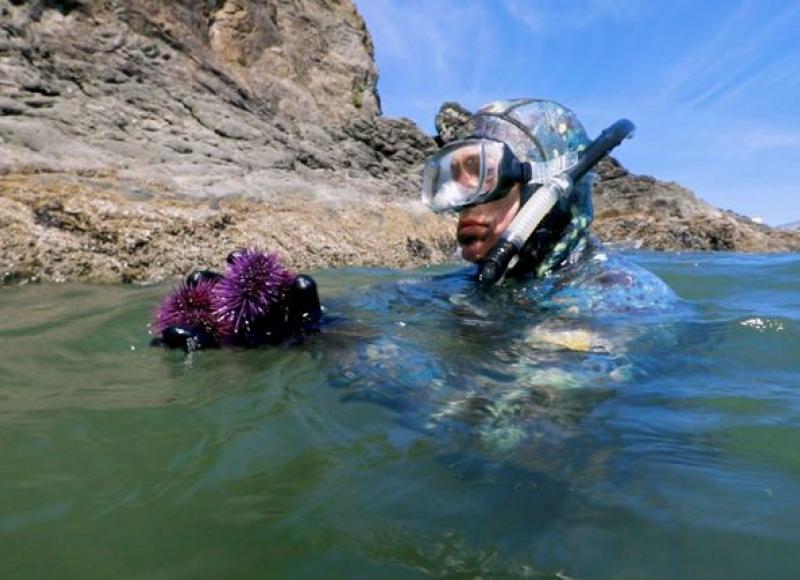 Tom Calvanese harvests purple urchins. Stephani Gordon / OPB