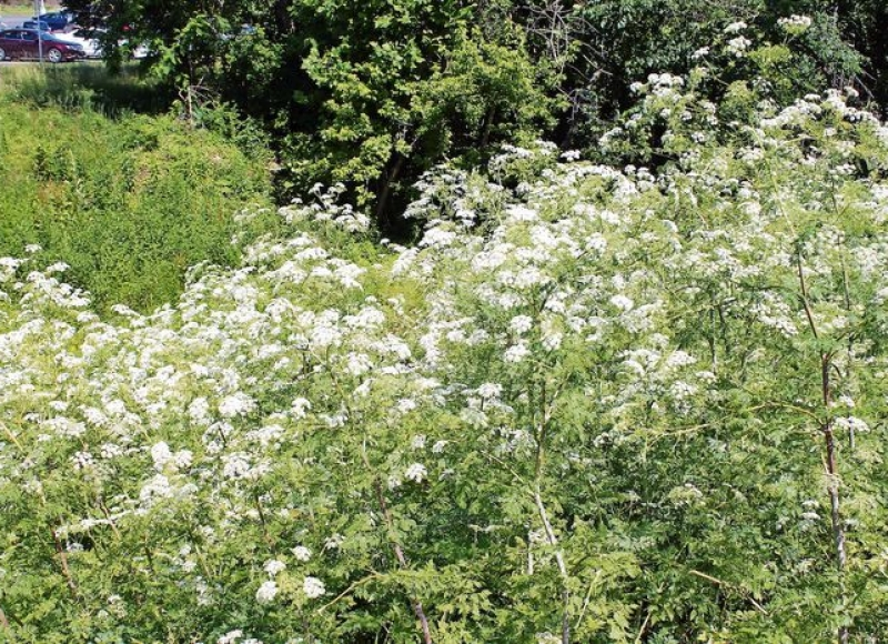 Poison hemlock blooms in June and is becoming an increasingly common weed, especially along roadsides. (George Weigel, Advance Local)