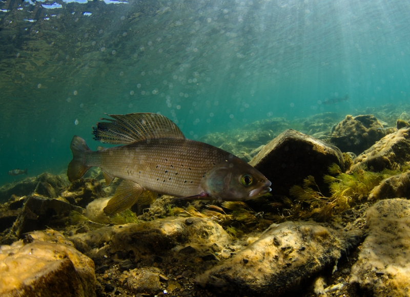 Arctic grayling in ephemerally warm lake outlet, Little Togiak River, Alaska. Credit: Jonny Armstrong.