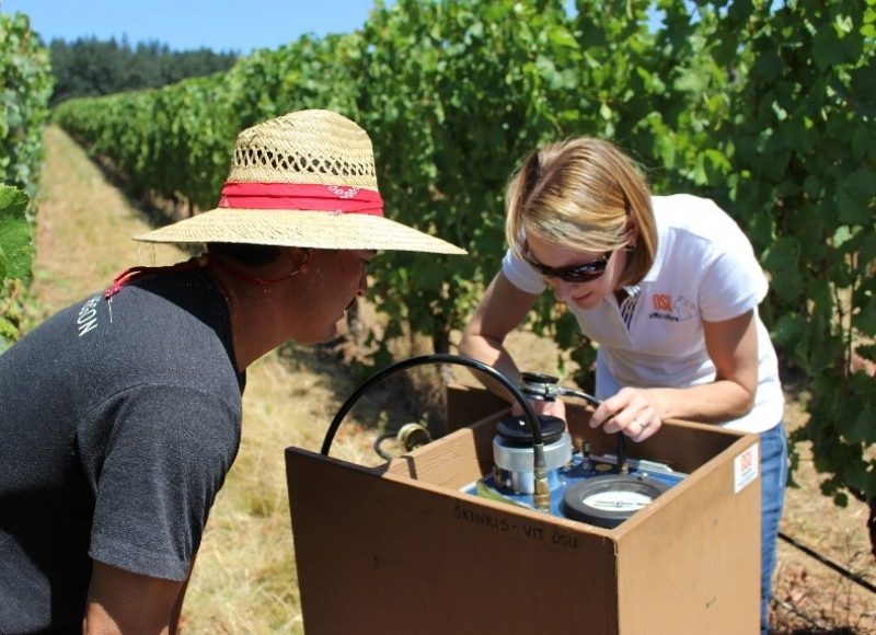 Patty Skinkis conducting research in a vineyard