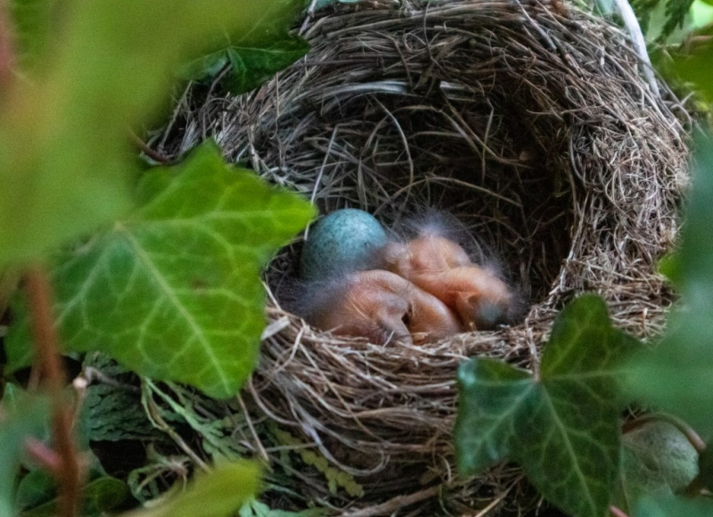 nest wtih baby birds