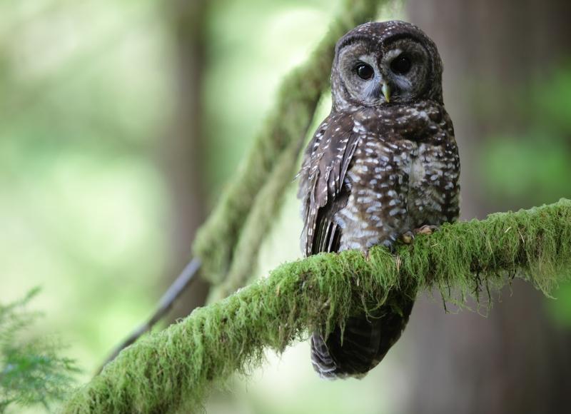 Spotted owl. Photo: Chris McCafferty.