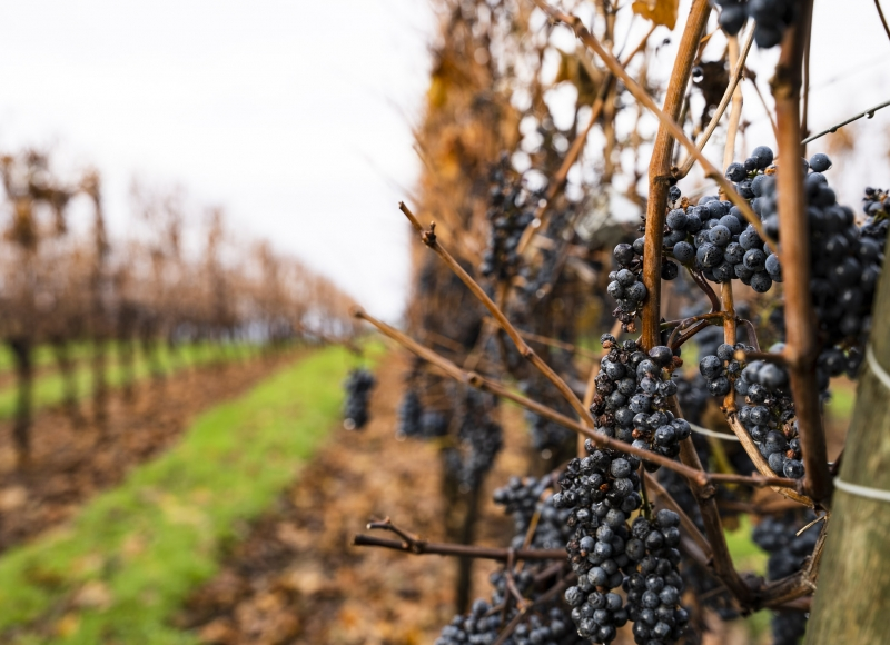 grape plants damaged by wildfires
