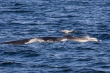Fin whales surfacing