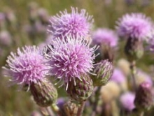 Canada thistle flower