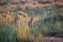 sage grouse. Photo by Courtney Duchardt.