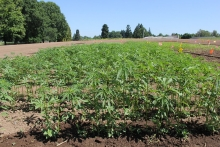 Hemp plants being grown at the Oregon State University North Willamette Research and Extension Center in Aurora, Oregon. Photo: Oregon State University.