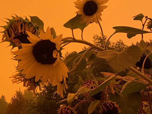Sunflower in the haze around Salem (Brooke Edmunds)