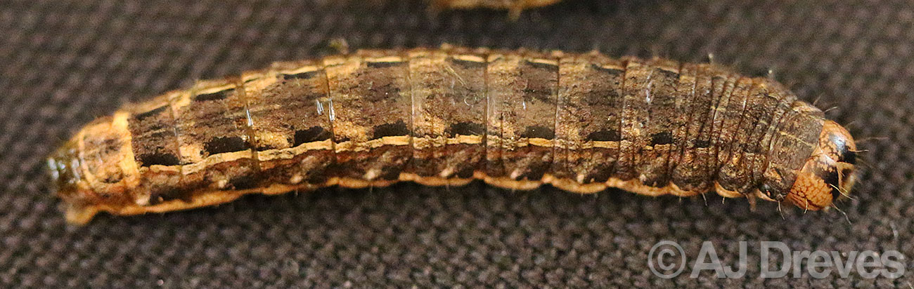 Winter cutworm, Noctua pronuba has tolerance for cold and the larvae feed throughout the fall and winter